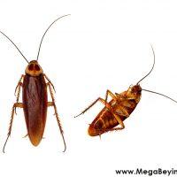 Hamam Böcekleri Hakkında Sakın Büyük Konuşmayın!